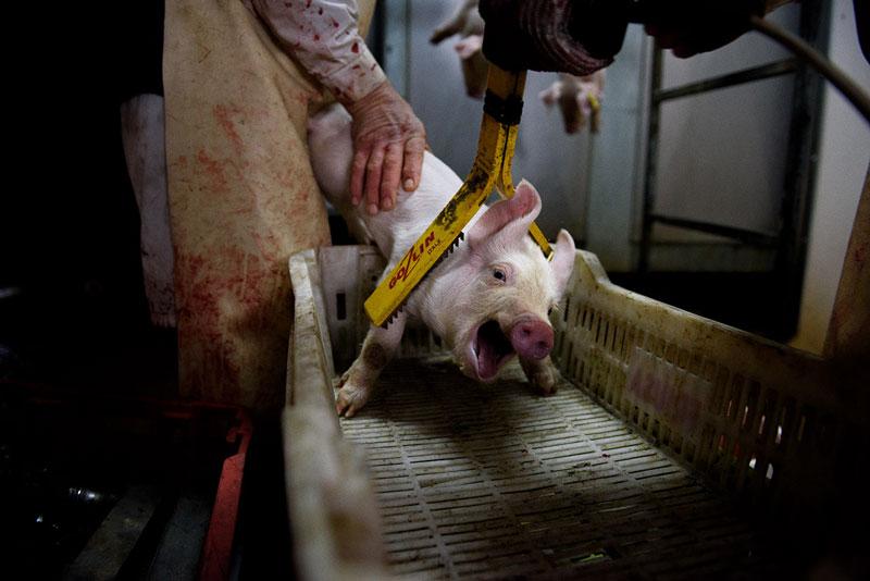 consumo de carne de cerdo