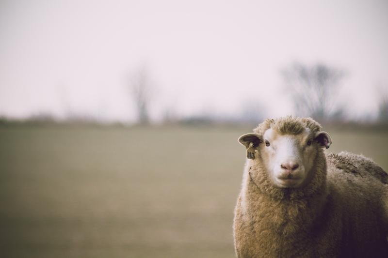 australia produce el 25% de la lana mundial