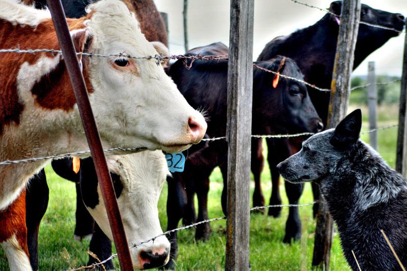 por que vestirnos con las vacas