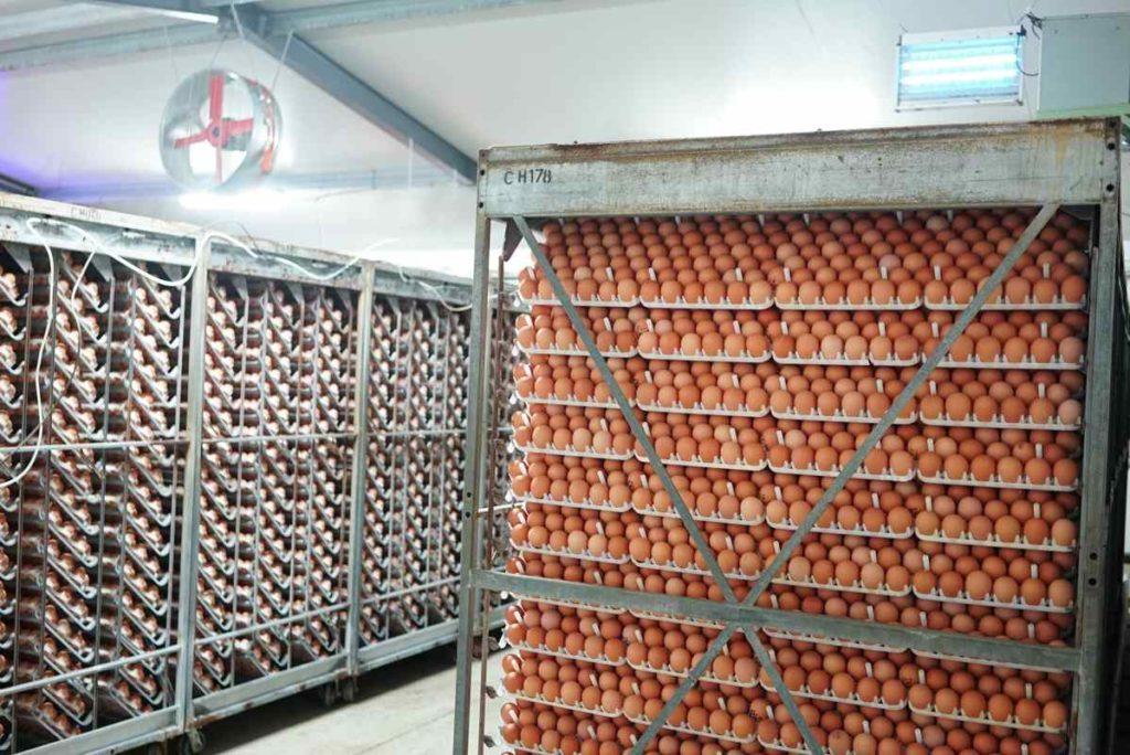 produccion de huevos
