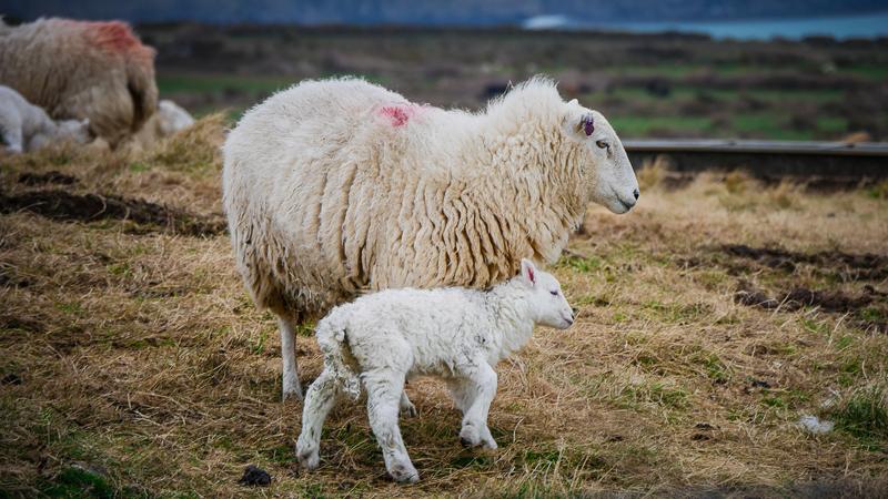 la lana no es sostenible