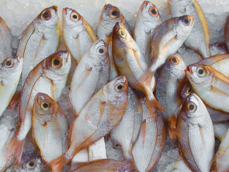 peces y sintiencia