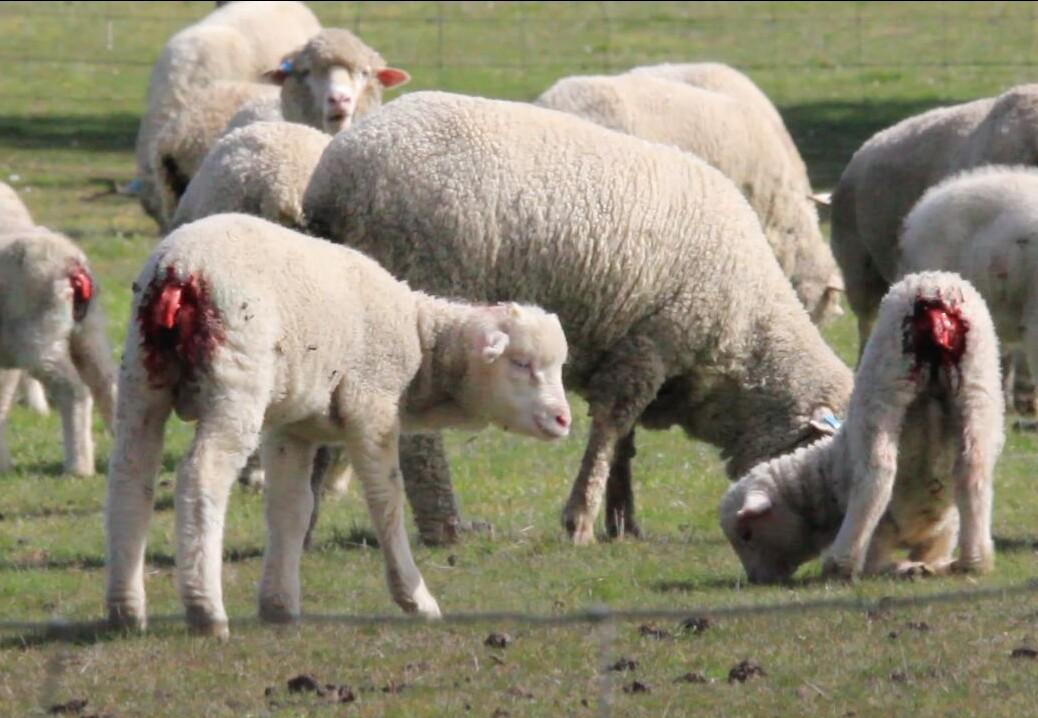 mulesing crueldad para las ovejas