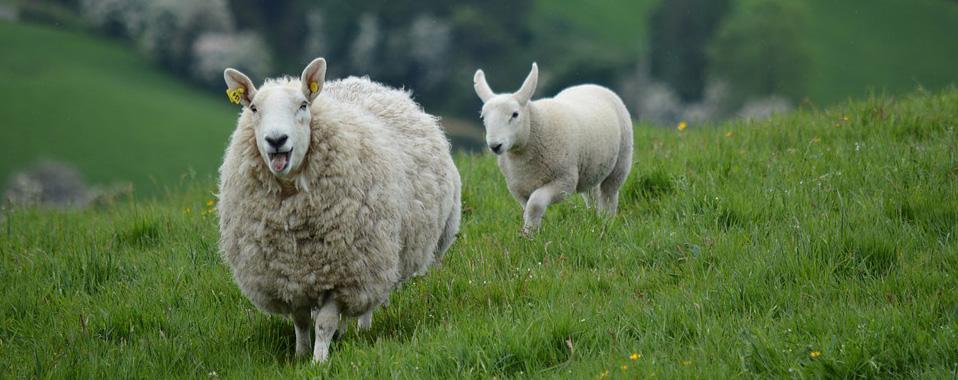 lana de ovejas felices