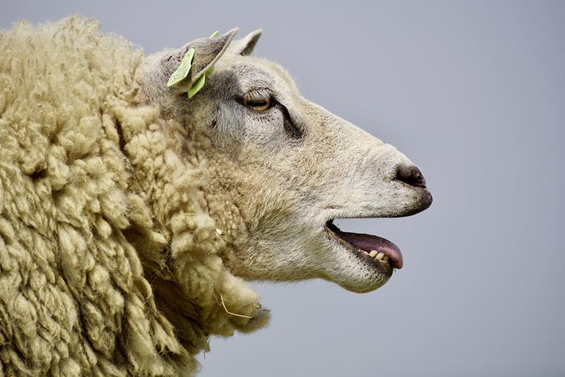 lana de ovejas merinas