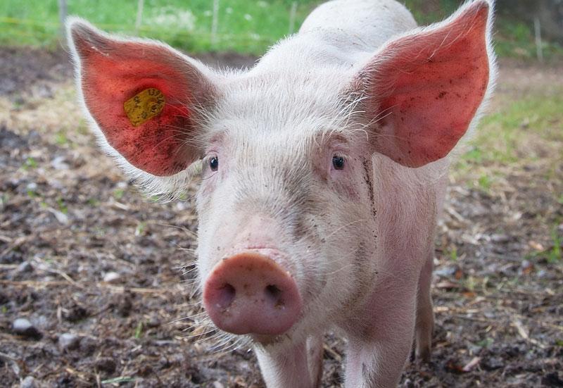 los cerdos son muy inteligentes