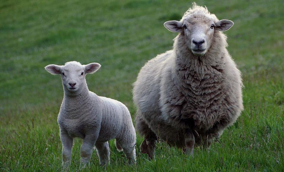 la lana no es vegana