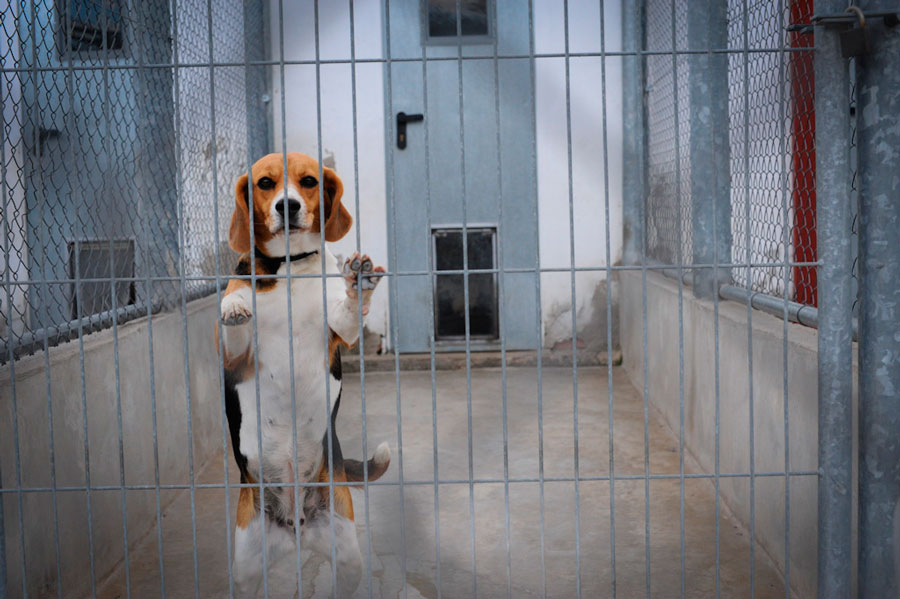 beagles en experimentacion animal