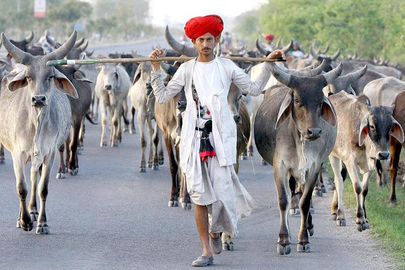 las vacas son trasladadas a pie hasta le matadero